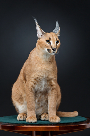 the lynx: Beautiful caracal lynx 6 months old kitten sitting on table over black background. Studio shot. Copy space.
