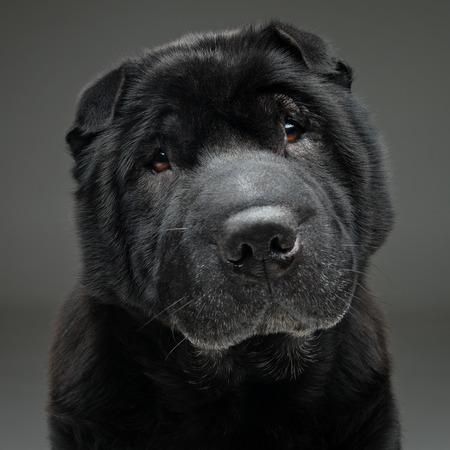 회색 배경에 앉아 아름 다운 오래 된 검은 색 순종 샤 페이 개. 공간을 복사합니다.