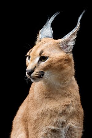 the lynx: Beautiful caracal lynx over black background
