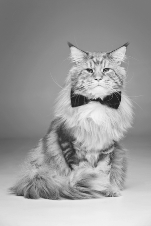 Beautiful maine coon cat with bow tie Stock Photo