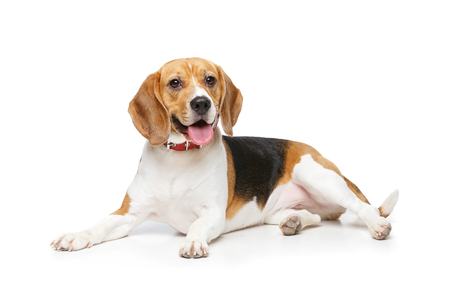 beautiful beagle dog isolated on white Stok Fotoğraf - 81782560