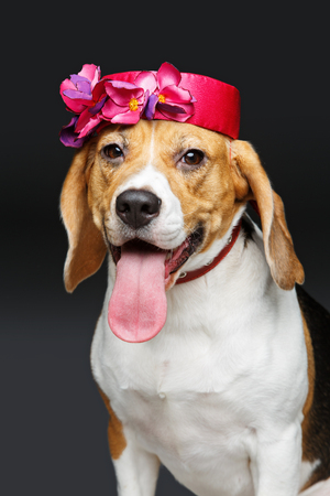 dog grooming: beautiful beagle dog in pink hat Stock Photo