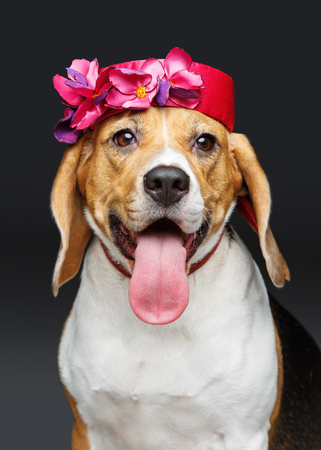 beautiful beagle dog in pink hat Stock Photo