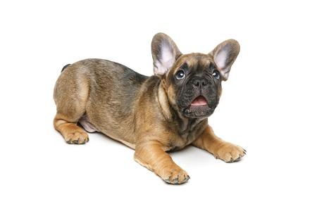 Lindo cachorro bulldog francés Foto de archivo - 82171680