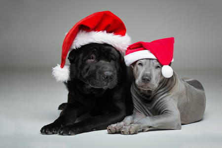 beautiful 3 months old thai ridgeback puppy and old black shar pei dog in red christmas hats. studio shot on grey background. copy space.