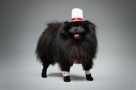 Handsome spitz groom in suit, red bow and silk hat on gray background...