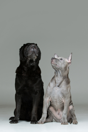 beautiful 3 months old thai ridgeback puppy and old black shar pei dog sitting together and looking up. studio shot on grey background. copy space.