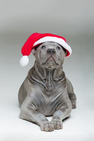 beautiful 3 months old thai ridgeback puppy dog in red christmas hat. studio shot on grey background. copy space. Stock Photo