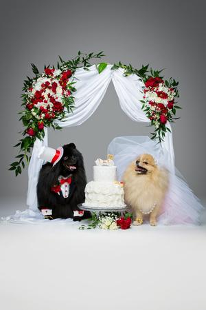 灰色の背景の上アーチの美しいスピッツの結婚式の花の下で犬のケーキを