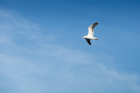 seagull bird flying up in the sky. outdoor shot in norway. copy space. Stock Photo