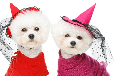 two beautiful bichon frisee dogs in halloween witch costumes isolated on white background. copy space.