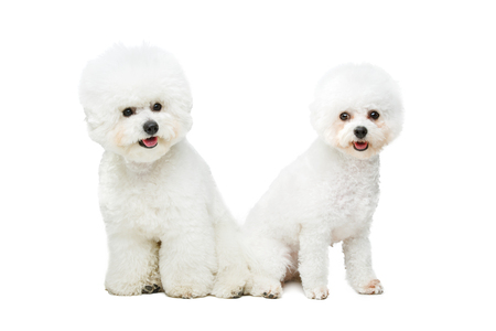 two beautiful bichon frisee dogs isolated on white background. copy space.