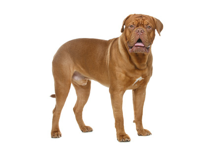 beautiful young dogue de bordeaux dog standing. studio shot isolated on white background. Reklamní fotografie