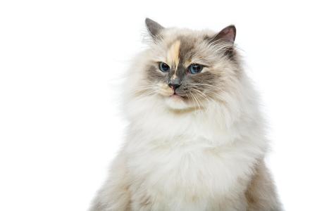 beautiful long fur birma cat isolated on white. studio shot. copy space.