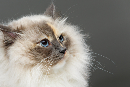beautiful long fur birma cat wearing pink coral dress isolated on white. studio shot. copy space. Stock Photo