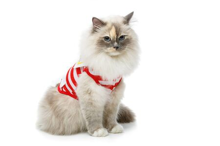 beautiful long fur birma cat wearing red striped pullover isolated on white. studio shot. copy space.