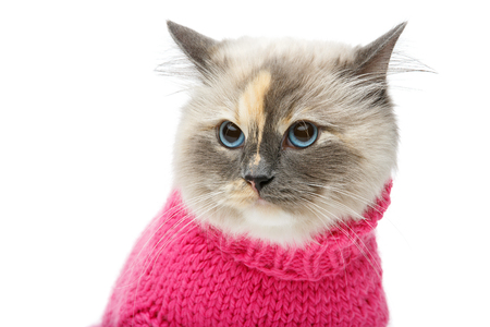 beautiful long fur birma cat wearing pink pullover isolated on white. studio shot. copy space.