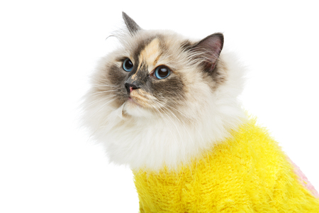 beautiful long fur birma cat wearing yellow pullover isolated on white. studio shot. copy space.