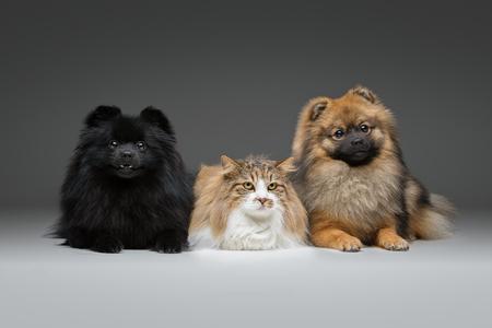 beautiful spitz dogs on grey background