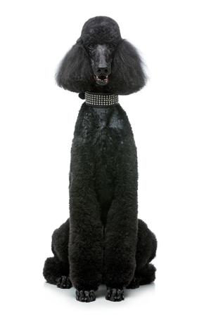 白で隔離された美しい黒いプードル犬
