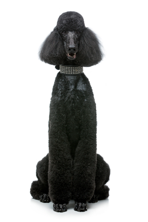beautiful black poodle dog isolated on white