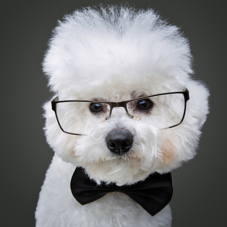 beautiful bichon frisee dog in bowtie and glasses Stock Photo