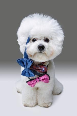 beautiful bichon frisee dog in bowties Stock Photo
