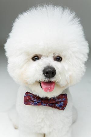 beautiful bichon frisee dog in bowtie