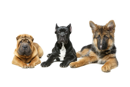 beautiful three puppy dogs Stock Photo