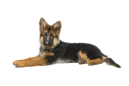 beautiful german shepard puppy Stock Photo