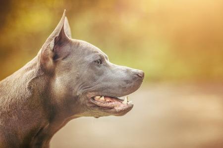 thai ridgeback dog outdoors Stock Photo