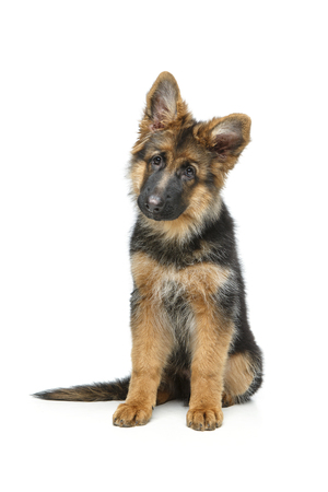 beautiful german shepard puppy 免版税图像