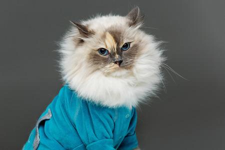 beautiful long fur birma cat wearing blue shirt pullover isolated on white. studio shot. copy space. Stock Photo