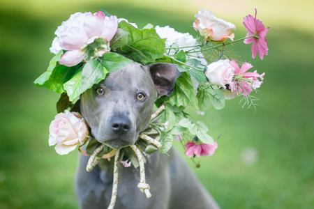 beautiful young thai ridgeback dog in flower wreath on head. summer season. outdoor shot. natural light. copy space.