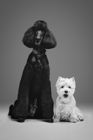 Beautiful black poodle and westie dogs on grey background