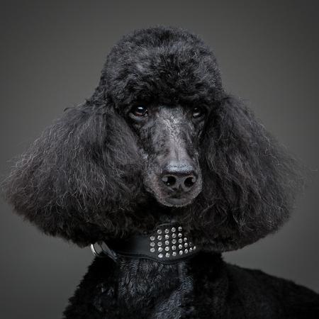 Beautiful black poodle on grey background Stock Photo
