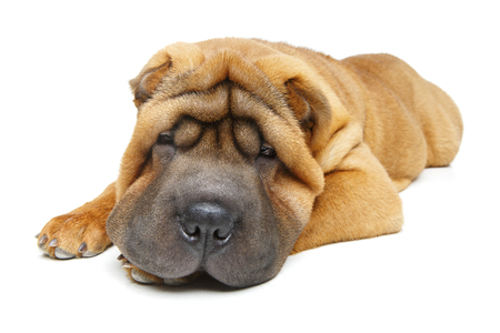 Beautiful shar pei puppy Standard-Bild