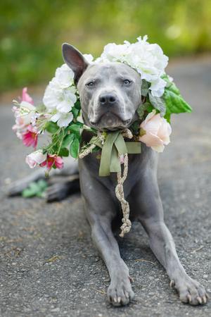 beautiful young thai ridgeback dog in flower wreath on head. summer season. outdoor shot. natural light. copy space.