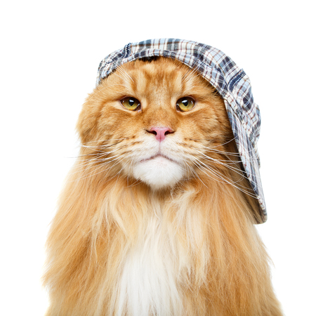 beautiful maine coon cat in hat Stock Photo