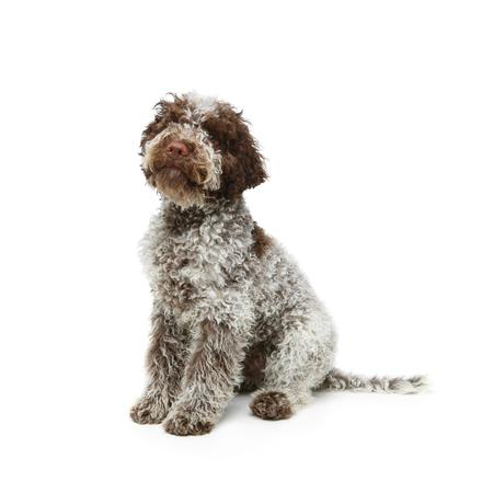 beautiful brown fluffy puppy 스톡 콘텐츠