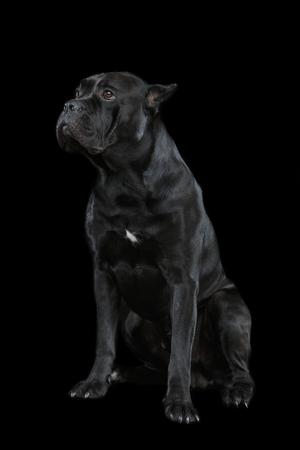 beautiful cane corso dog