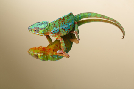 alive chameleon reptile Stock Photo