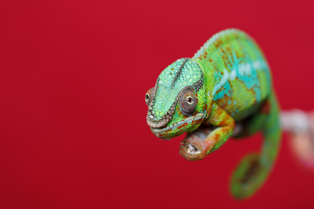 alive chameleon reptile sitting on branch. studio shot over red background. copy space. Stock Photo
