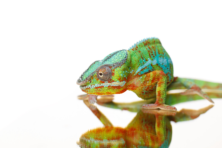 alive chameleon reptile Stock Photo