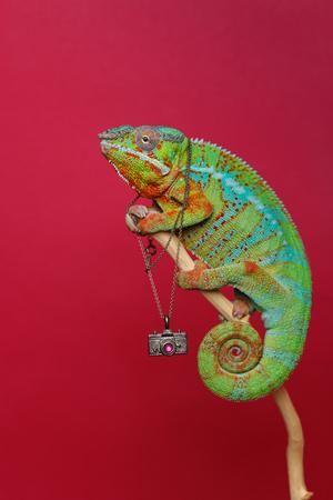 alive chameleon reptile Stockfoto