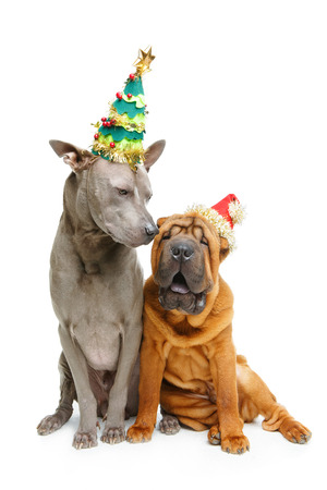 two dogs in christmas hats Stock Photo