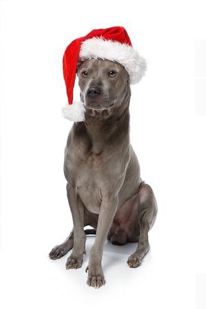 beautiful thai rifgbeck dog in christmas cap Stock Photo
