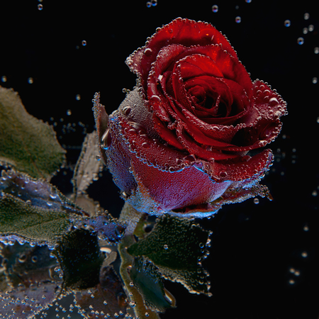 beautiful red rose covered in bubbles in water