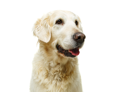beautiful adult golden retriver dog on white background. studio shot. copy space.
