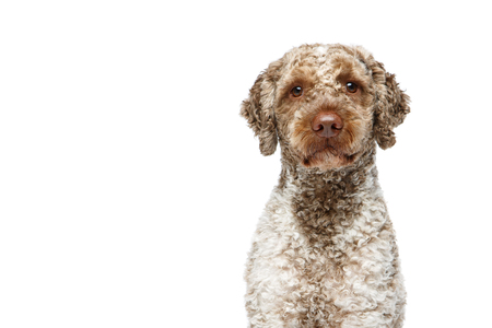 beautiful young lagotto romagnolo dog isolated on white background. studio shot. copy space.
